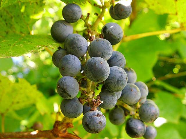 een van de vele gezonde druiven rassen