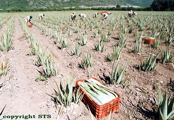 aloe vera barbadensis miller plantage